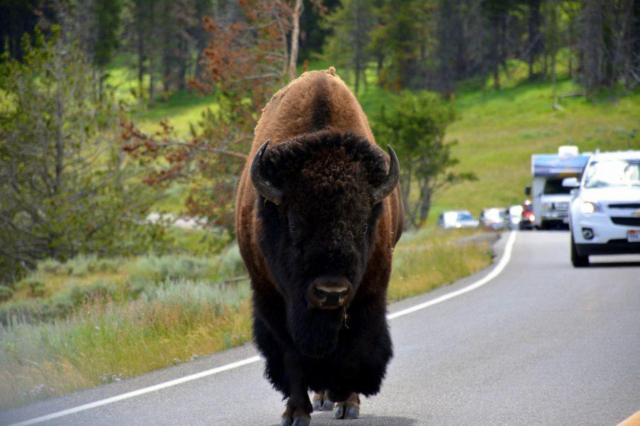 se-en-bizon-kopija